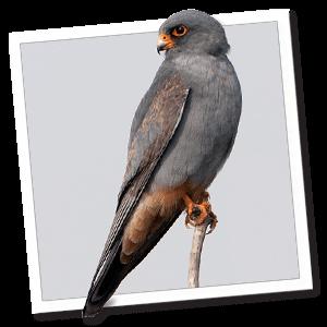 Rotfussfalke (Falco vespertinus)