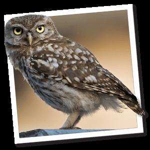 Eulen (Strigiformes)