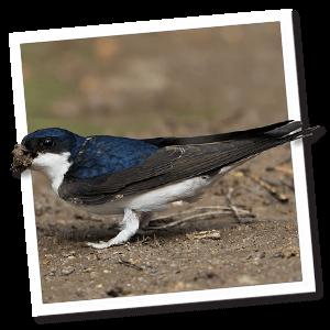 Mehlschwalbe (Delichon urbicum)