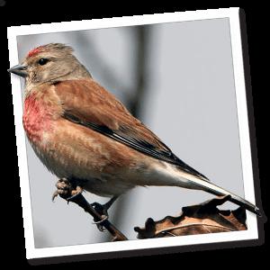 Hänfling (Bluthänfling) (Carduelis cannabina)