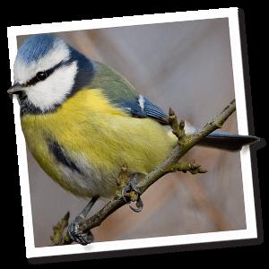 Singvögel (Passeri)