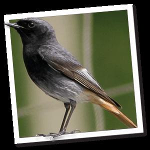 Haustotschwanz (Phoenicurus ochruros)